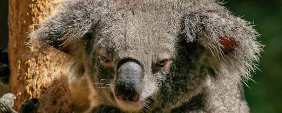 koala-zaman-yonetimi